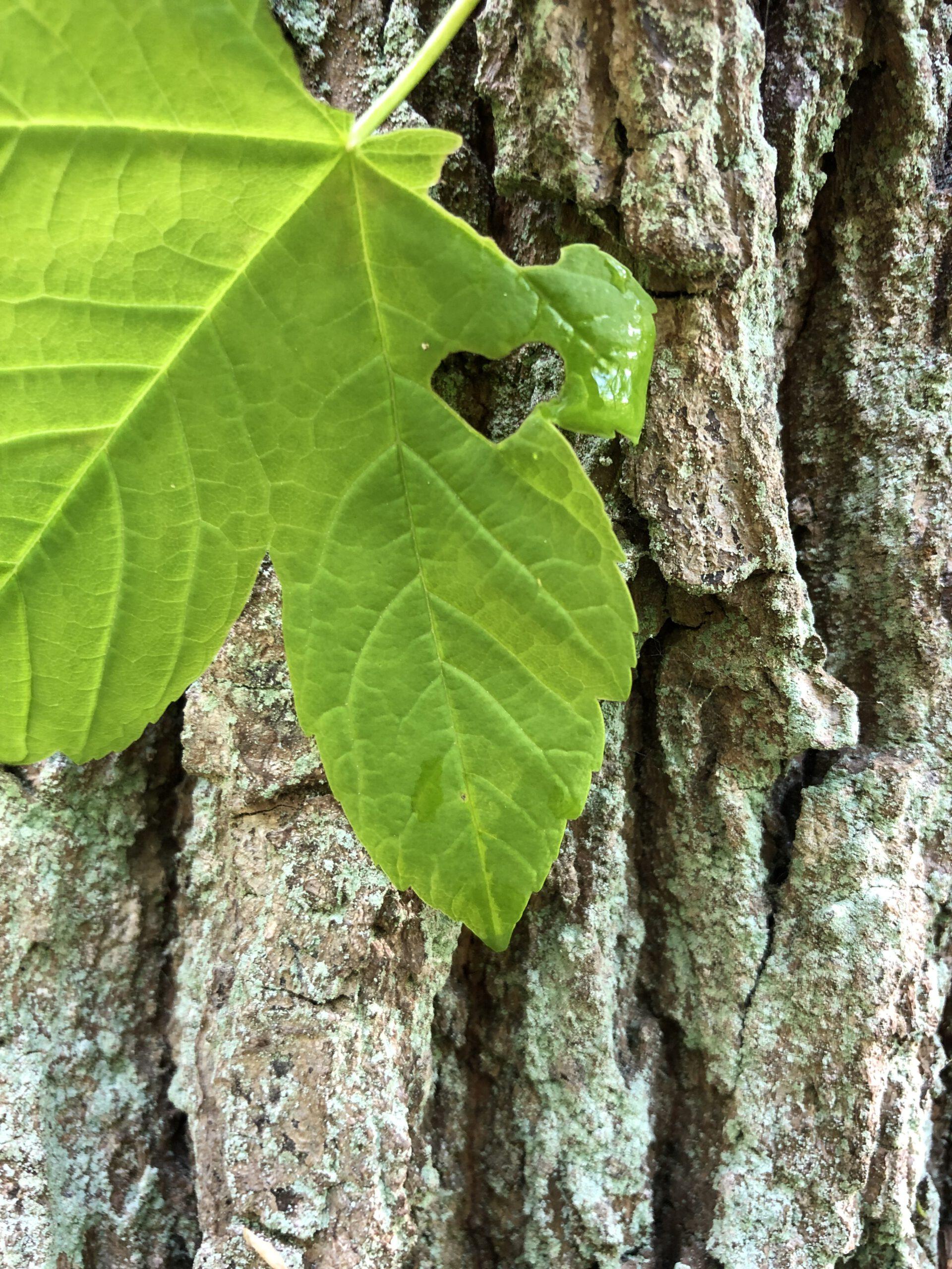 Baum mit Herzblatt